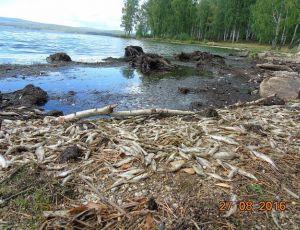 Ущерб от массового мора рыбы на Верх-Сысертском пруду оценили в 4 млн рублей