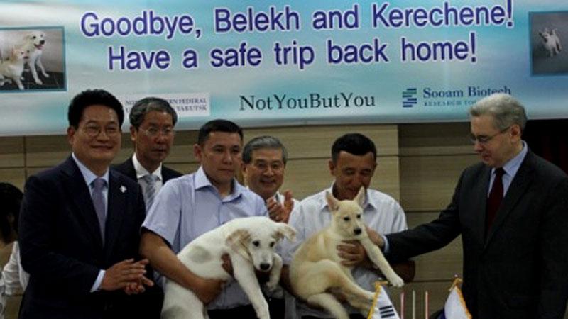 Русские икорейские ученые клонировали щенков якутских охотничьих лайкек