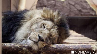 В заброшенной подмосковной гостинице найдена истощенная пара львов