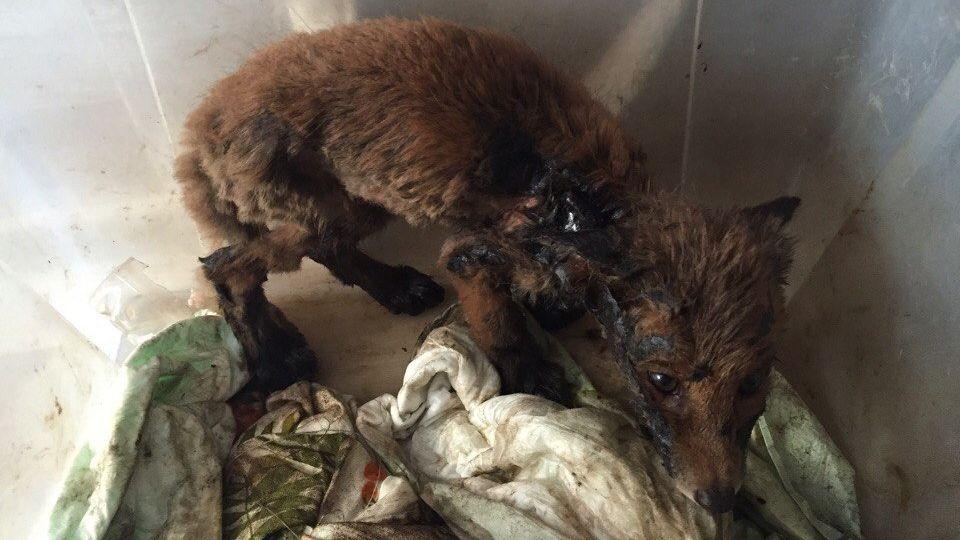 Граждане Екатеринбурга спасли лисенка, который попал влужу жидкого битума