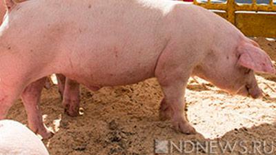 ВЧехию впервый раз пришла африканская чума свиней