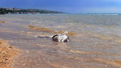 Наберег Феодосии выбросило дельфина спривязанным кголове камнем