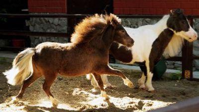 Взоопарк Екатеринбурга привезли 2-х миниатюрных лошадок