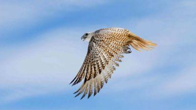 Сокол за млн руб.: вСевастополе арестовали лидера банды, отлавливающей ценных птиц