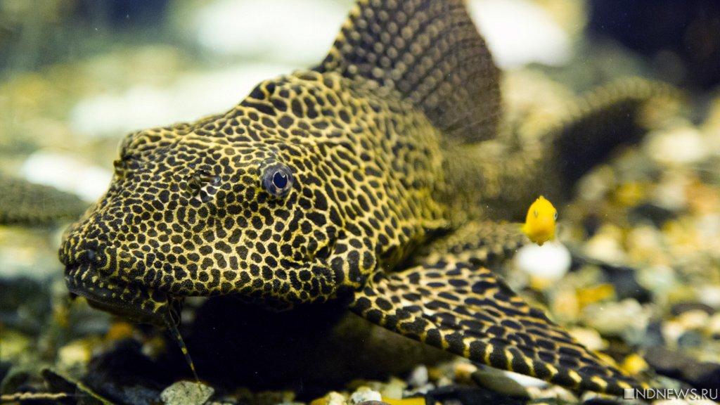 Золотая рыбка производит спирт, чтобы незамёрзнуть