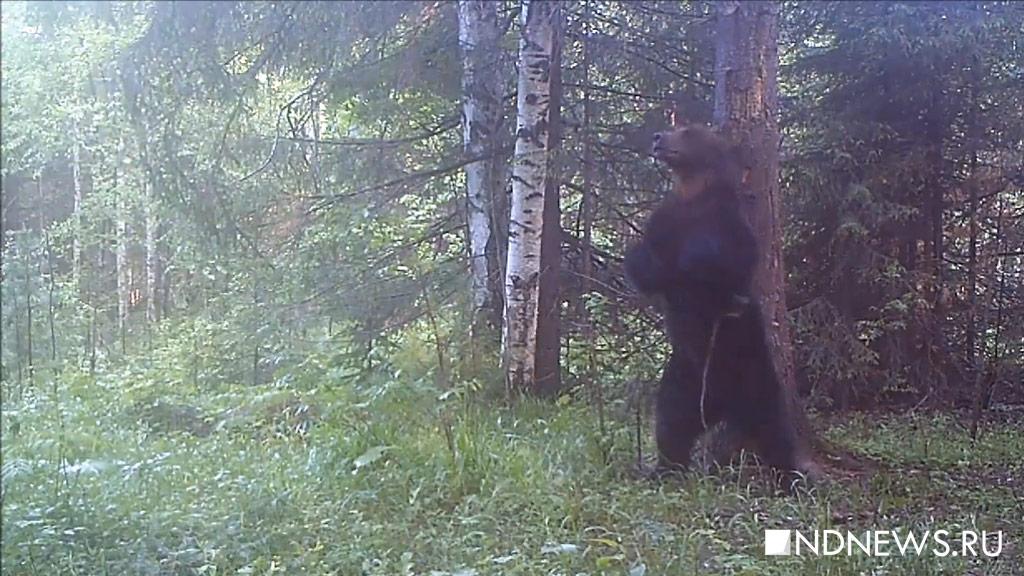 Медведь весом в100 килограммов напал на ребенка вИркутской области