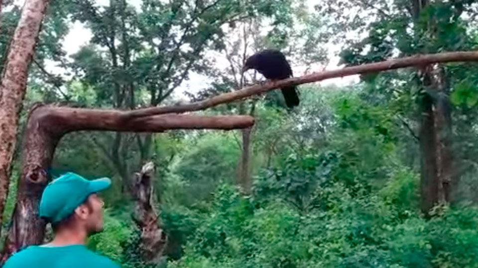 Сафари-парк вПриморье обучает ворону английскому языку
