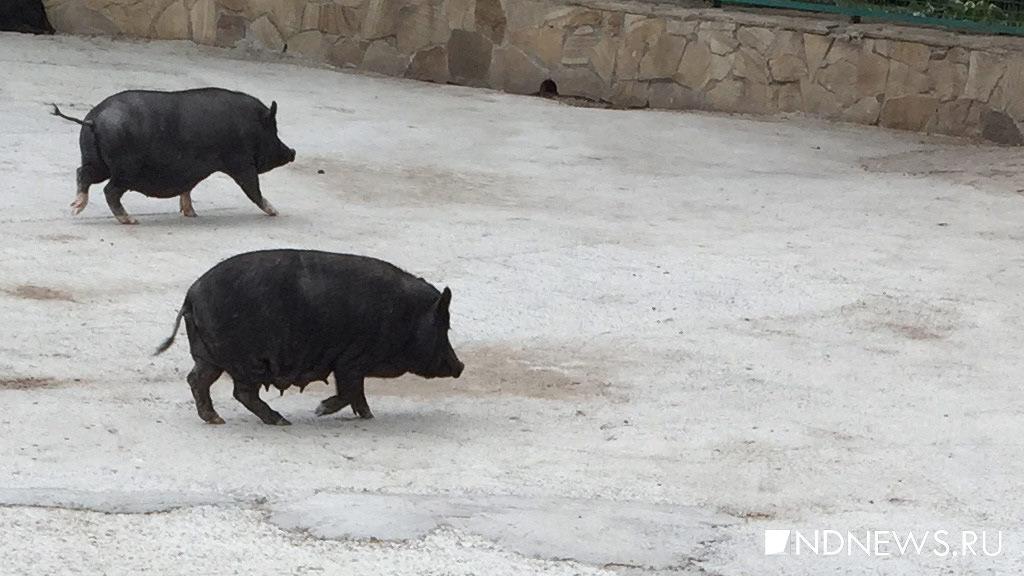 Чумных свиней изТюменской области завезли вКурган