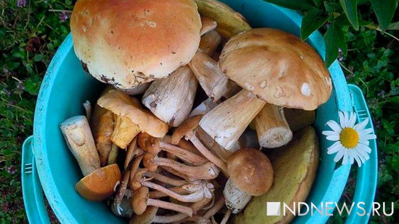 В лесах Свердловской области пошли грибы