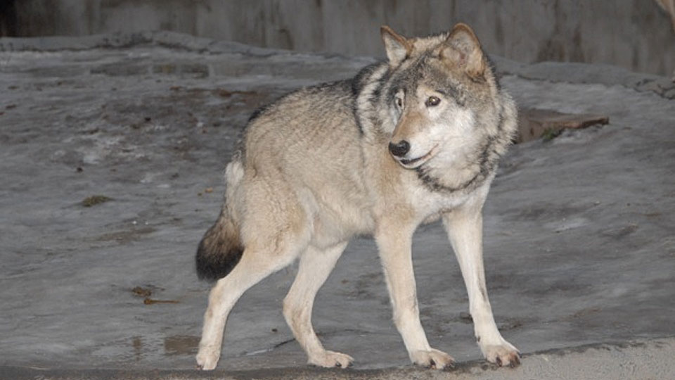 Вцентре Норильска белый волк покусал троих человек