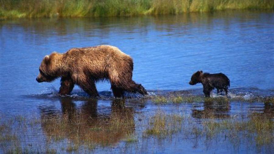 Забайкалец пытался вывезти изстраны практически 500 медвежьих лап игубы лосей