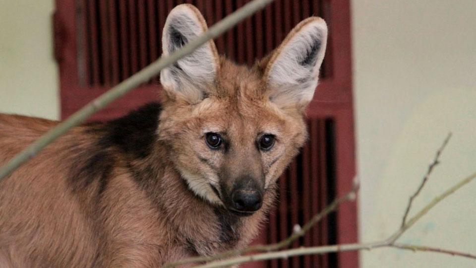 В столицу Российской Федерации  пришли лисы— местные  джунгли