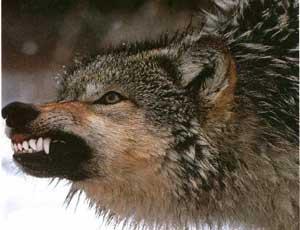 В Крыму объявился бешеный волк