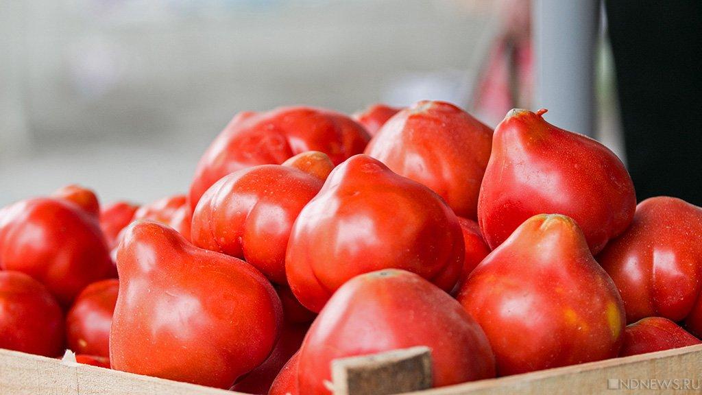 «ПутинРасти»: ВЧелябинске высадят огромный  помидор, поросту которого предскажут результаты  выборов