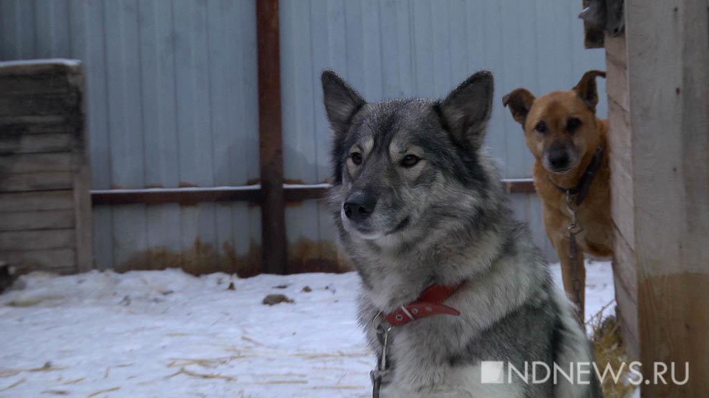 Госдума запретила контактную притравку охотничьих собак