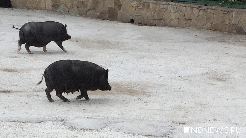 РФ запретила ввоз белорусской свинины