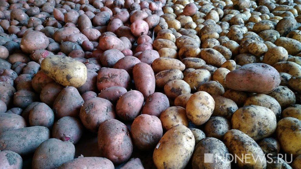 России предрекли дефицит крупного картофеля из-за плохой погоды