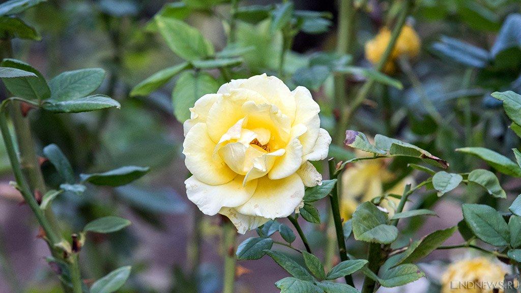 Время роз: в Никитском саду распустились тысячи цветочных «королев» (ФОТО)