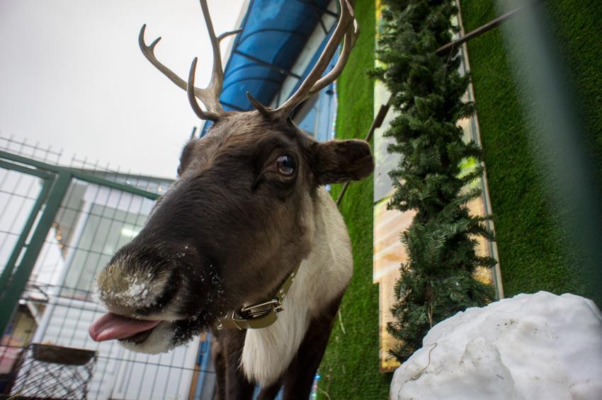 Сбитая олениха сЯмала стала новогодним талисманом вЕкатеринбурге
