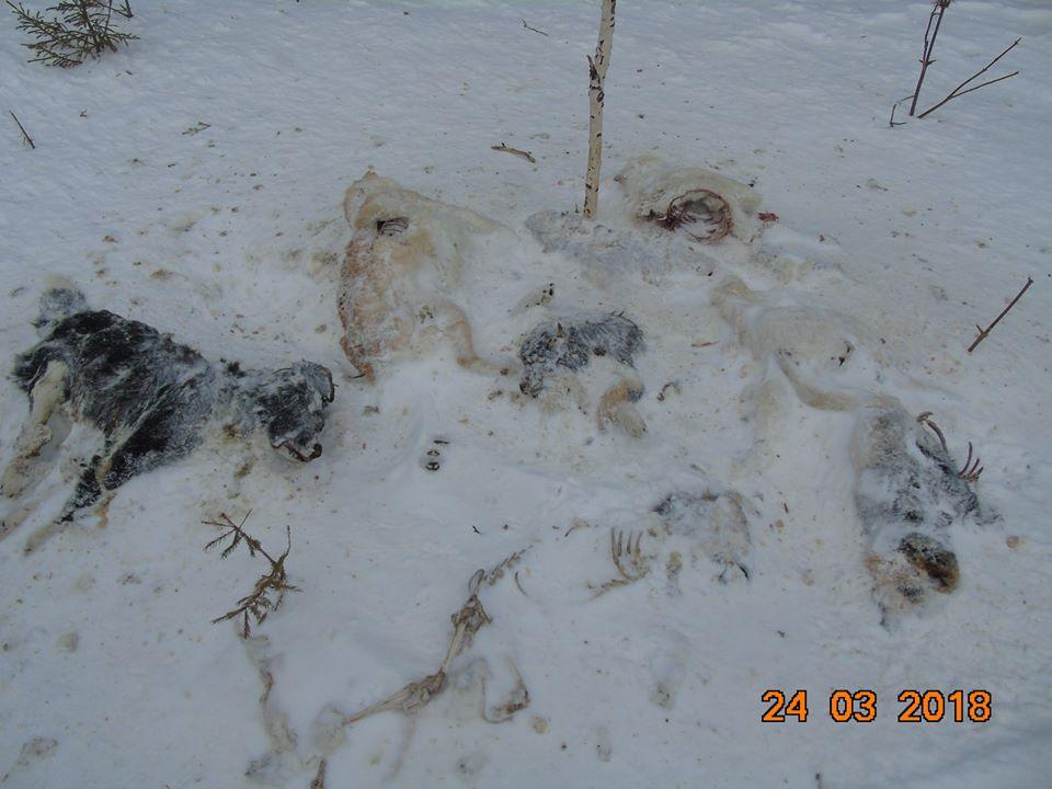 НаУрале вприродном парке обнаружили свалку трупов собак