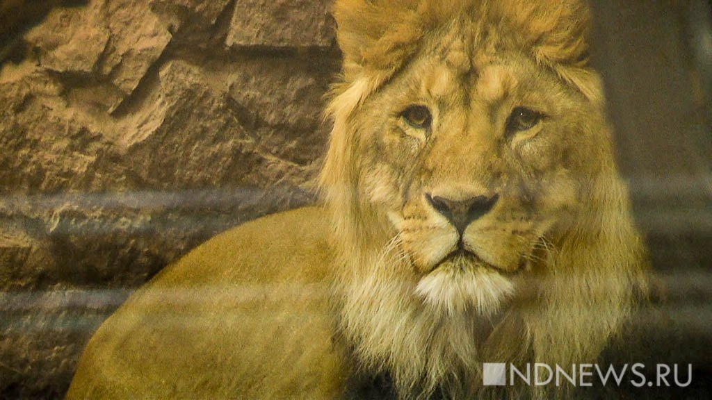 Африканские львята родились векатеринбургском зоопарке