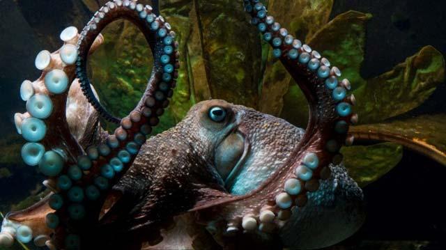 В новейшей  Зеландии изаквариума убежал  осьминог