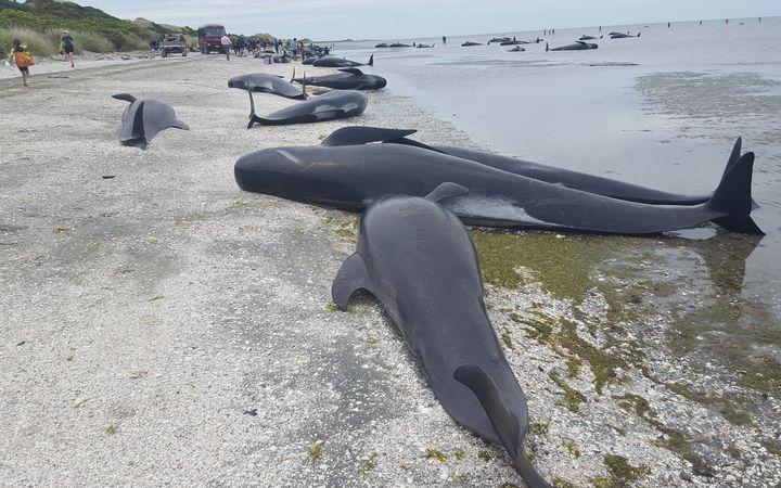 В новейшей Зеландии биологи иволонтеры пробуют спасти китов выбросившихся наберег