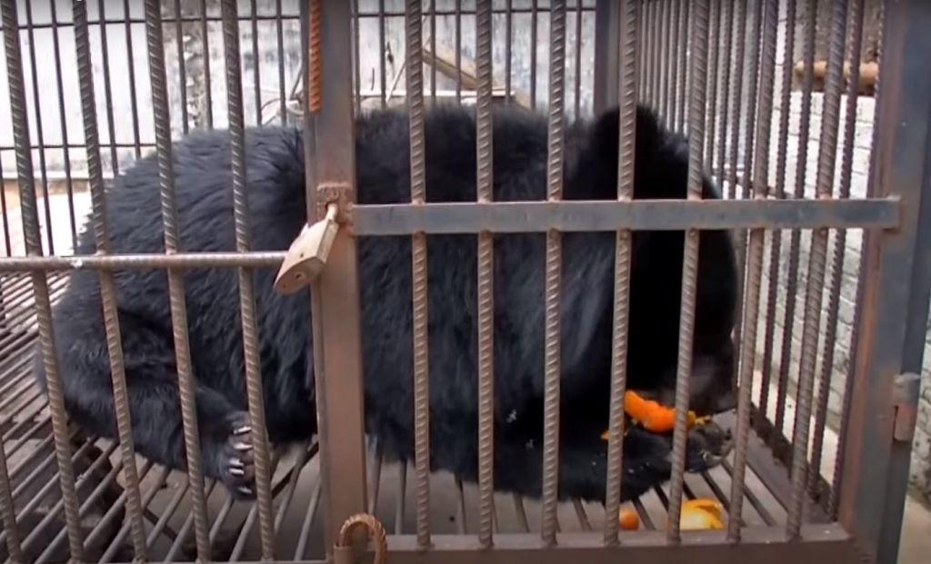 Купленный китаянкой щенок за два года вырос в медведя