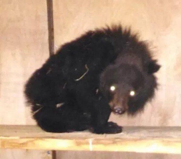 Истощенного гималайского медвежонка отыскали всарае вПриморье