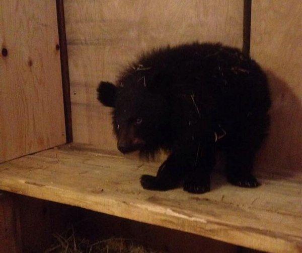 ВПриморье всельском сарае обнаружили голодного гималайского медвежонка