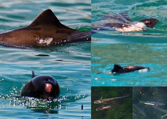 Новый День: Экологи бьют в набат: В Балаклавской бухте практически все дельфины – инвалиды. Главный враг – рыбак (ФОТО)
