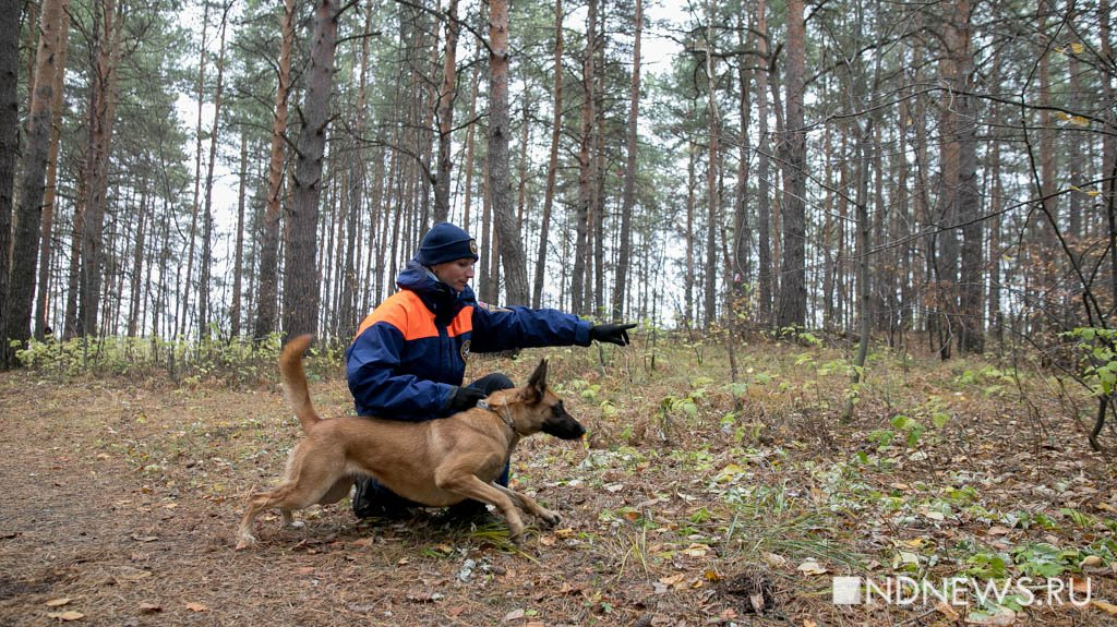 Спасатели с собаками ищут потерявшихся людей в лесу.